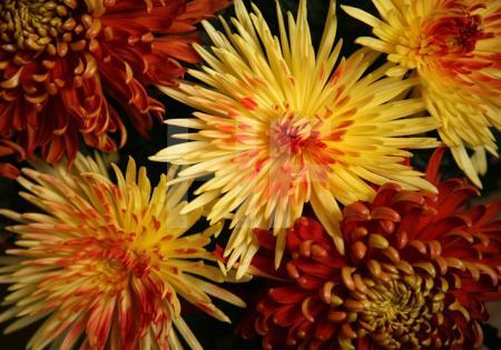 Gelbe und rote Chrysanthemen (3)