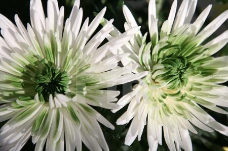 Weiß-grüne Chrysanthemen