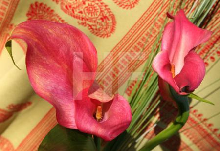 Zwei pinke Callas vor Hellgrün