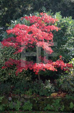 Herbstlicher Zierahorn