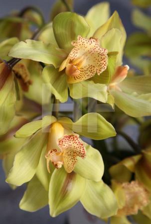 Zwei Blüten, grüne Orchideen