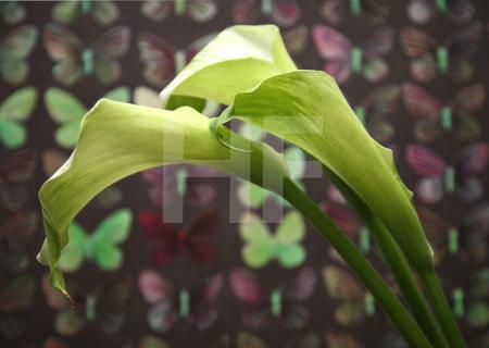 Drei weiße Callas vor Schmetterlingen