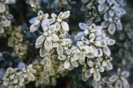 Frost auf Azaleen-Blättern