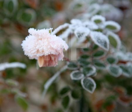 Frost auf Rose