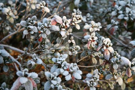 Frost auf Azaleenblättern (2)
