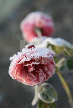 Frost auf rosa Rosen