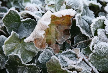 Frost auf Blättern der ???