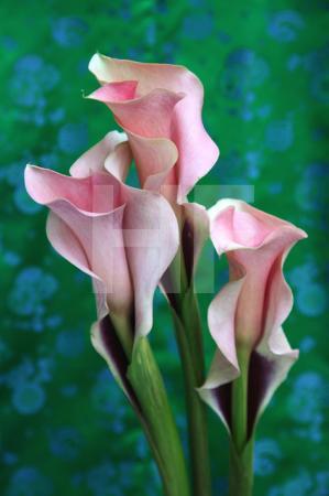 Drei Calla-Lilien vor Grün