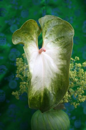Weiß-grüne Anthurie vor Grün