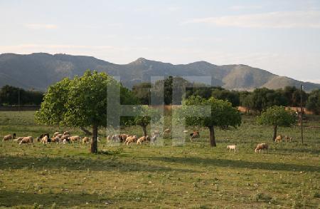 Landschaft mit Schafen, Mallorca