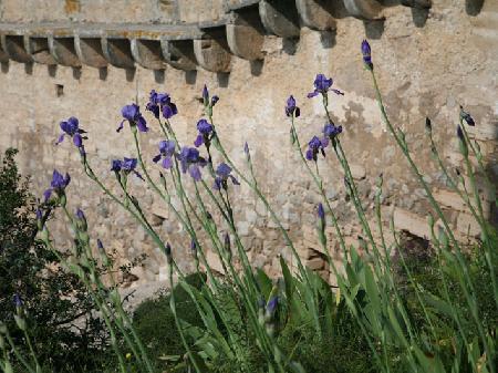 Schwertlilien vor der Mauer des Castell de Capdepera, Mallorca
