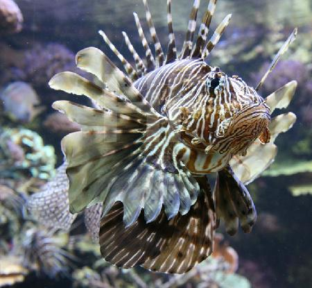 Zierbarsch in einem tropischen Aquarium des Océanopolis, Brest, Bretagne
