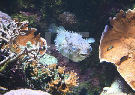 Aufgeblasener Kugelfisch in einem tropischen Aquarium des Océanopolis, Brest, Bretagne