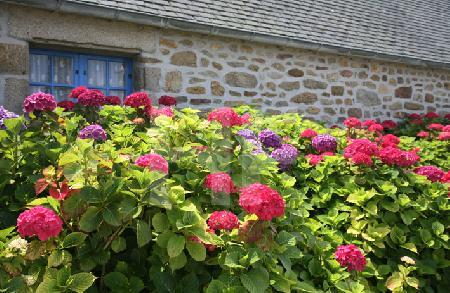 Lila und rosa Hortensien vor Hauswand mit blauem Sprossenfenster