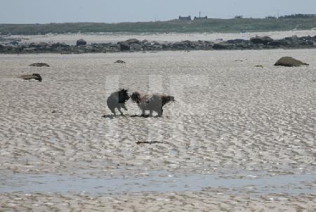 Zwei Hunde spielen am Strand, Bretagne