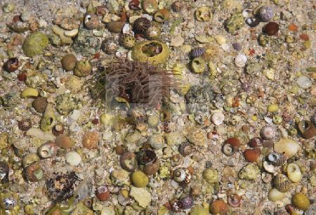 Seeanemone zwischen Muscheln bei Niedrigwasser, Bretagne