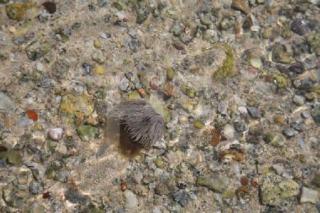 Seeanemone zwischen Muscheln bei Niedrigwasser, Bretagne (2)