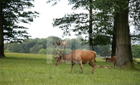 Hirsche im Safari Park von Longleat House, Wiltshire