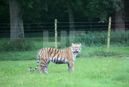Tiger im Safari-Park von Longleat House, Wiltshire